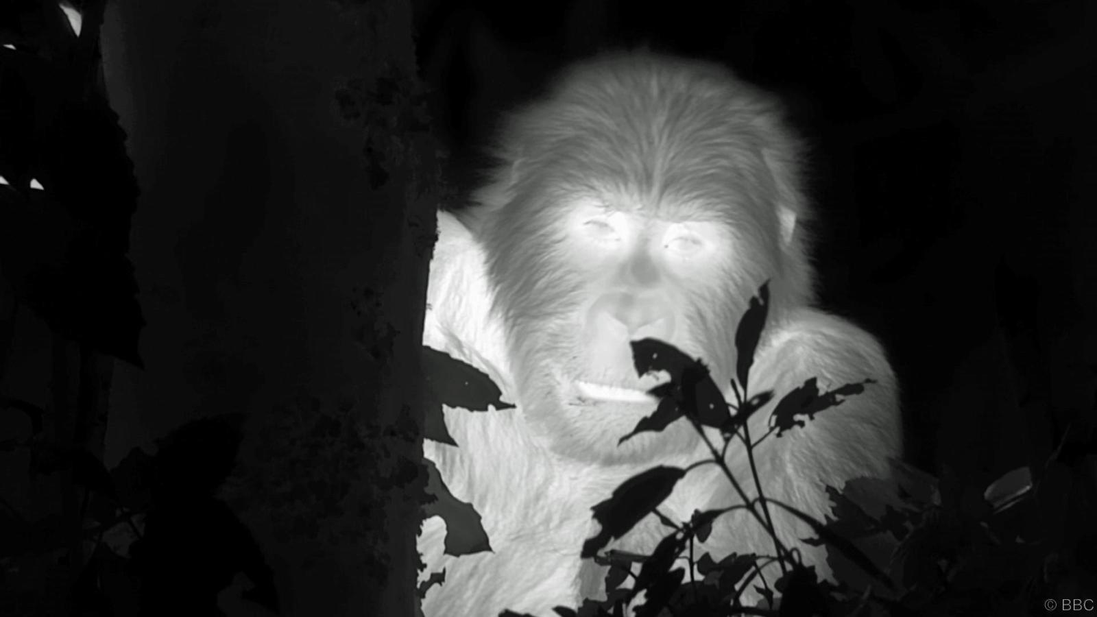 """To the best of my knowledge this is the first ever filming of gorillas at night, certainly using this kind of camera,"" says primatologist and chairman of the Ape Alliance Dr Ian Redmond, a self-professed ""gorilla-holic"" who began his career as Dian Fossey's research assistant and introduced Sir David Attenborough to gorillas in the 1970s."