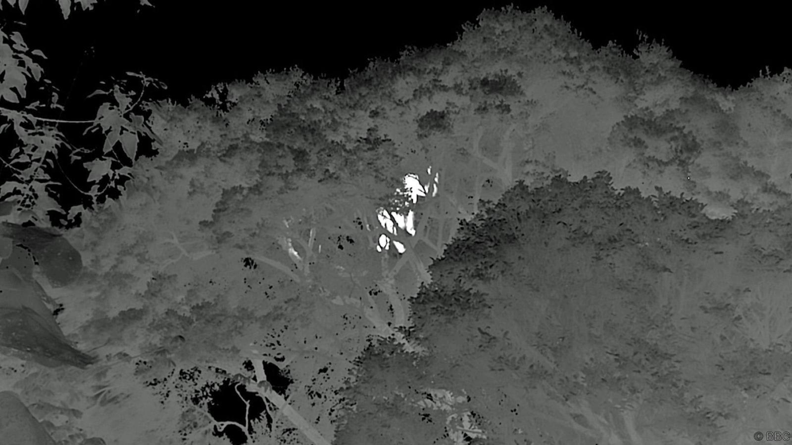 Eastern lowland gorillas have now been filmed on thermal cam at night building nests to sleep in up to 45 meters above ground.